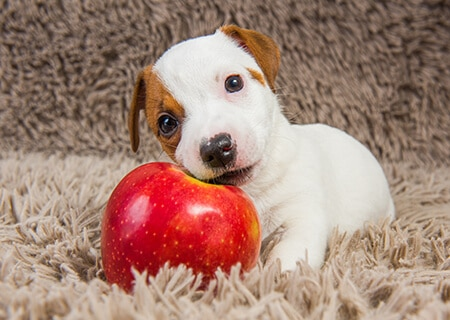 Cachorro filhote comendo maçã